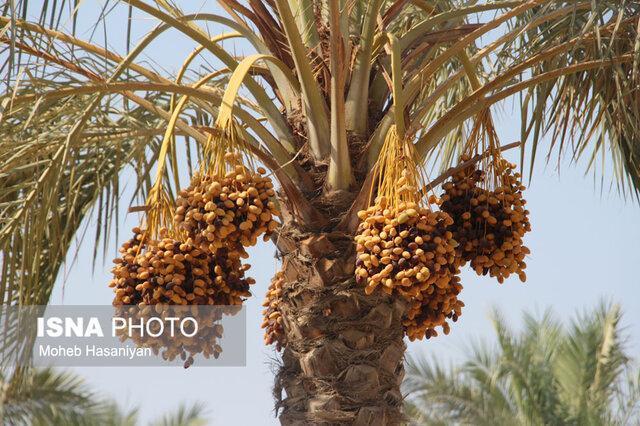 رویداد شتاب(استارت آپی) محصولات خرما در بندرعباس برگزار می گردد