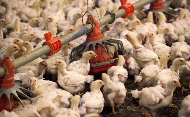 صدور مجوز صادرات 400تن مرغ زنده از مرزهای سیستان وبلوچستان
