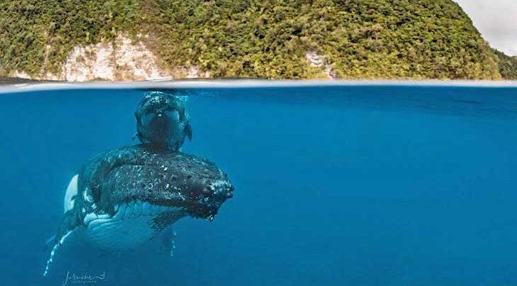 گران ترین تصویرِ جهان از نهنگ گوژپشت و نوزاد 14 روزه اش، تصاویر