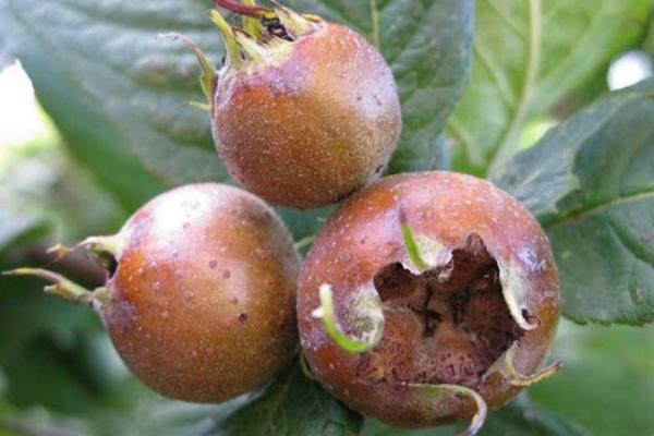 میوه ای برای مقابله با کم خونی و آلزایمر