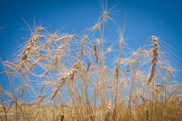 خریداری 720 هزار تن گندم از کشاورزان خوزستانی